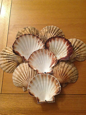 10 x Large Scallop Shells + 2 Free