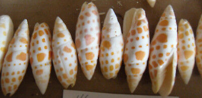 Mitra mitra sea shells - orange spotted - batch of 10 shells