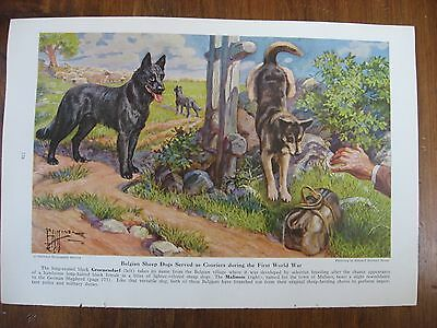 Vintage National Geographic Edward Miner Belgian Malinois Sheepdog Print