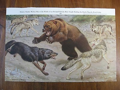 Vintage National Geographic Walter A Weber Timber Wolf Grizzly Bear Owl Print