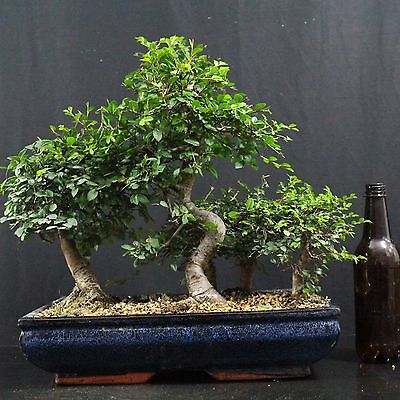 chinesische ulme wald ulmus parvifolia indoor bonsai 7 12 jahre 34 cm h he eur 99 00. Black Bedroom Furniture Sets. Home Design Ideas