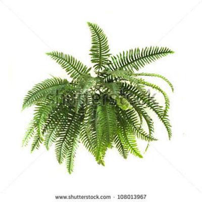 2 live fern South Florida plants roots hardy plant inside or out nice Greenery