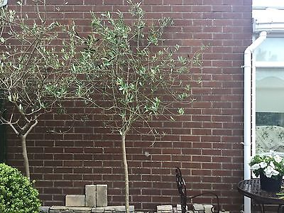 REDUCED Mature Large Olive Tree Over 8Ft Tall COLLECTION ONLY
