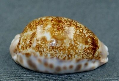 Cypraea mappa geographica. VERY RARE FROM NEW CALEDONIA!