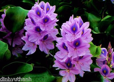 100 Seeds Water Hyacinths Floating Water Garden Plants