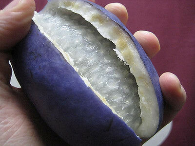 XXX rare fruit plant- akebia taiwan chocolate vine/largest fruit - LIMITED OFFER