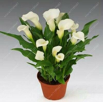 4 pcs True White Calla Lily Bulbs (Not seeds)