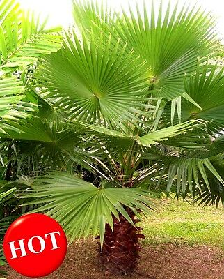 Palm Tree Seed, Hardy Tropical Mexican Fan Palm Tree - 20 Exotic Seeds Free Ship