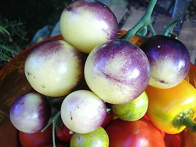 Samen  - TOMATE Great Whitepurple