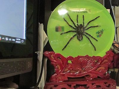 Afghanistan Tarantula Spider Encased In Clear Acrylic Block with Carved Stand