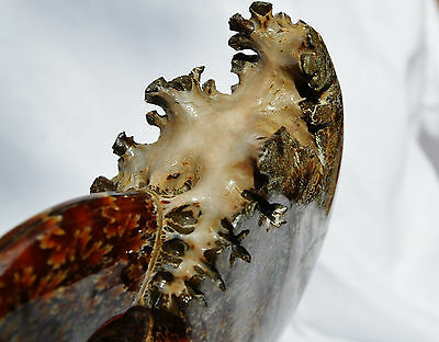 """WHOLE NEW CHAMBERED Ammonite Nice Suture Pattern FOSSIL 148mm LARGE 5.8"""" n1249x"""