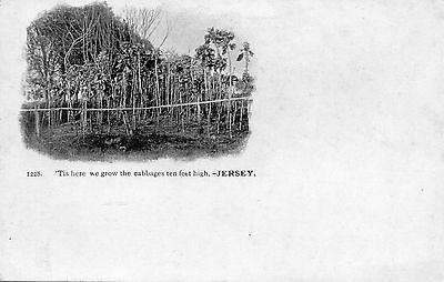 C.i. - Jersey - Very Tall Cabbages - Posted 1901 - Queen.victoria. Stamp