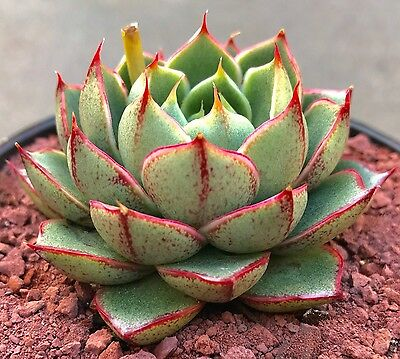 Echeveria Shamrock succulent plant - DP in 8cm pot
