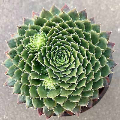 Sempervivum Spring Beauty succulent plant - DP in 7cm pot