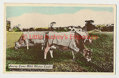 Old Postcard Jersey Cows with Winter Coats Unposted AM327