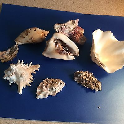 Large Sea Shells