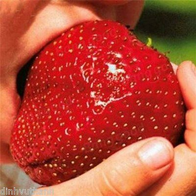 1000PCS Giant Red Strawberry Seeds Heirloom Super Japan Strawberry Garden Seeds
