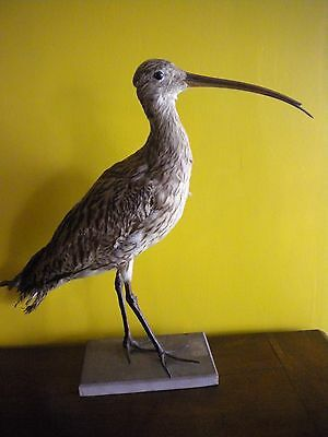 courlis taxidermy