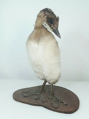 taxidermie ancienne grebe. old taxidermy grebe oddities curiosite