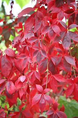Parthenocissus quinquefolia virginia creeper X 1