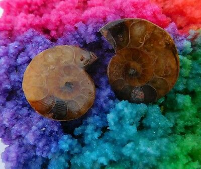 44 Cts. 100% Natural Matched Pair Of Ammonite Shell  Mineral Specimen (NH85)