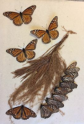 "Taxidermy Papilio polytes Encased Butterfly Lot (16""x12"")"