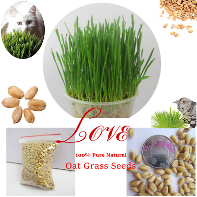90g 100%Pure Natural Grown Sweet Oat Grass Seeds Cat Rabbit Pet About 1600 Seeds