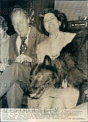 1975 Wire Photo Timber Wolf in Lap of California Representative Shirley Pettis