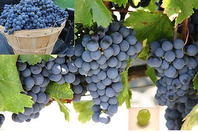 Sovereign Coronation Seedless Grape,2 Rooted Live Starter Plant in Pot,Rare!