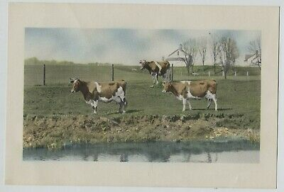 Vintage 1940s-50s Dairy Cows Print  Grazing by Pond