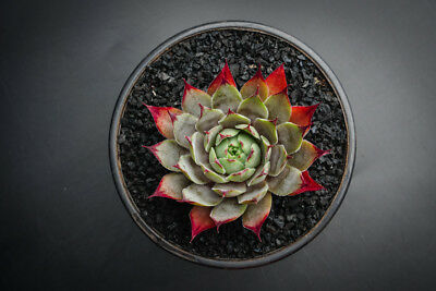 Sempervivum 'Blue Boy' Succulent  plant Display in 80mm pot (w/pup)