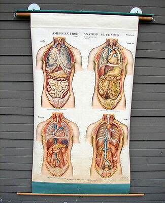 Huge Antique Vtg 1918 Anatomical Chart Chest & Abdomen Plate by A. J. Nystrom