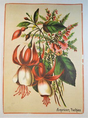 Antique Victorian Trade Card Large 7x5 American Fuchias Color Floral C838