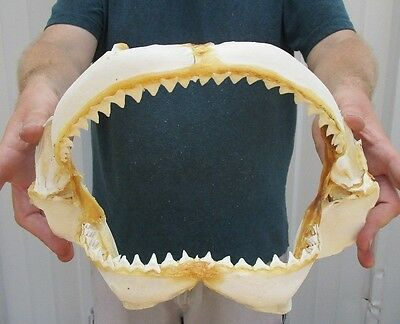 Real 12-1/2 inch Bull Shark Jaw Teeth mouth Taxidermy #28112