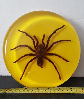 """Taxidermy Large spider In lucite 7"""" across"""