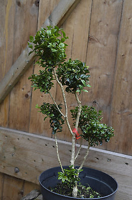 buchsbaum formschnitt bonsai buxus winterfest nr 3 eur. Black Bedroom Furniture Sets. Home Design Ideas