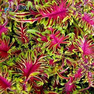 100% Real Coleus Blumei Seeds In Bonsai Japanese Home Garden Plants 100pcs/bag
