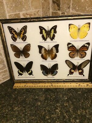 Butterfly Specimen Collection Labeled And Framed