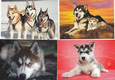 12 Siberian Husky   Dog   Postcards