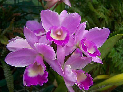 3 x orchids - cattleya - bare rooted