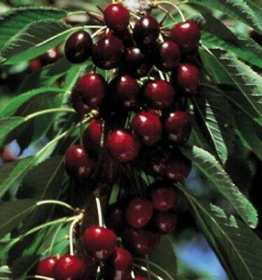 1X 4-5Ft Lapins Cherry Fruit Tree - Self Fertile & Heavy Cropper - 7.5L Potted