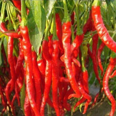 50 Pcs Vegetables Seeds Giant Red Hot Spices Spicy Chili Pepper Yard Plant Newly