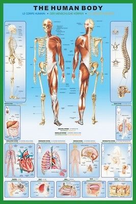 """THE HUMAN BODY POSTER """"LARGE"""" 61cm X 91.5cm """"BRAND NEW"""" ANATOMY EDUCATIONAL"""