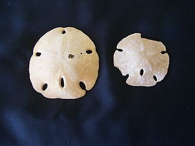 Fossil Sand Dollar - Petrified Sand Dollar, 2.5 and 3.5 inches