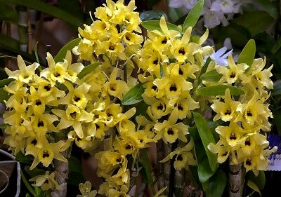 TINGS ORCHID FLASKS SEPT 2017.DENDROBIUM. 'YELLOW STAR'  'Mericlone'