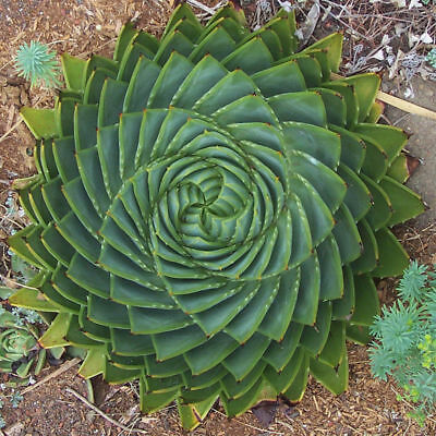 100Pcs Aloe Polyphylla Seed Garden Succulents Yard DIY Horticulture Annual