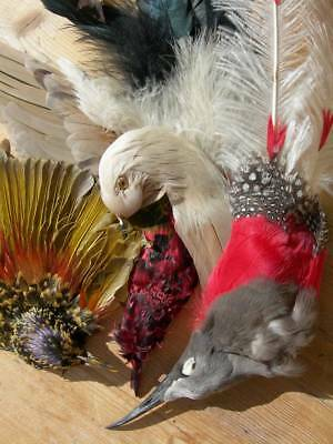 Box full of antique French bird heads & feathers millinery plumes 1900