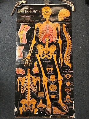 Antique (1920's) School Medical / Anatomy Chart, Skeleton, Osteology