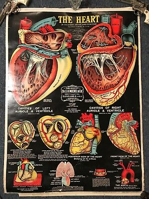 Antique (1920's) School Medical / Anatomy Chart, Heart, Pulmonary