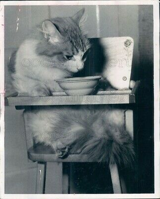 1958 Press Photo Cute Cat Sitting & Eating in Baby High Chair